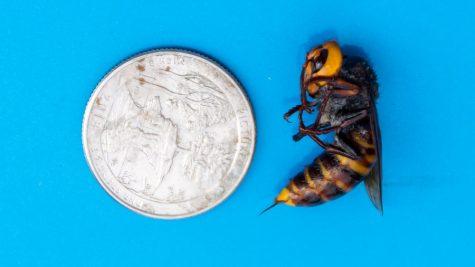 Murder Hornets Infesting